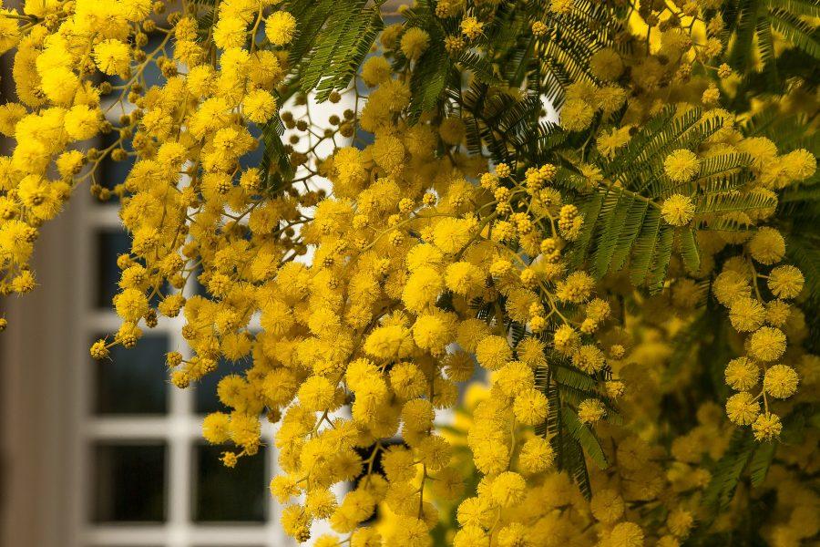 8 marzo, mimose nelle RSA