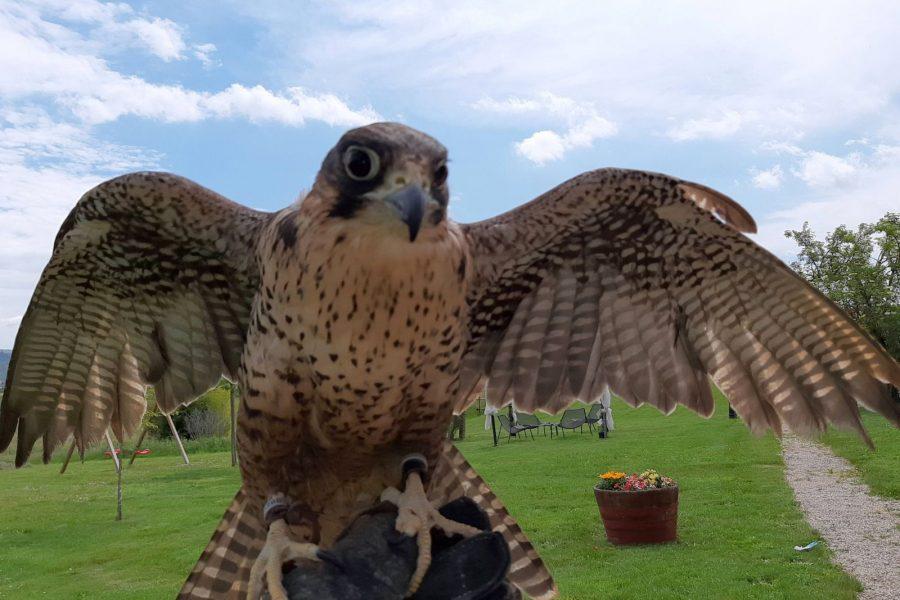 VIVA vola alta: presentazione delle attività e apericena con spettacolo di falconeria